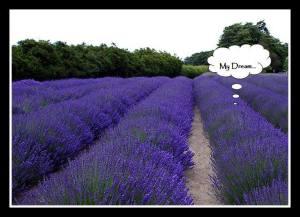 My lavender dream