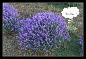 my lavender in reality